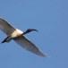 Indische-witte-ibis-Black-headed-ibis-05