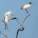 Indische-witte-ibis-Black-headed-ibis-07