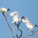Indische-witte-ibis-Black-headed-ibis-08