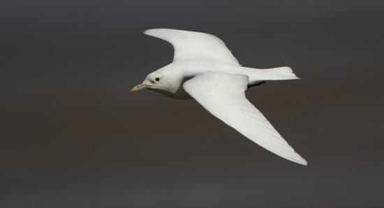 ivoormeeuw-ivory-gull-06