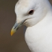 ivoormeeuw-ivory-gull-02
