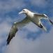 jan-van-gent-northern-gannet-12
