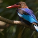javaanse-ijsvogel-javan-kingfisher-02