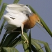 javaanse-ralreiger-javan-pond-heron-08
