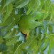 Jerdons-bladvogel-Jerdons-leafbird-02