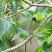 Jerdons-bladvogel-Jerdons-leafbird-03