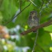 Jungledwerguil-Jungle-owlet-02