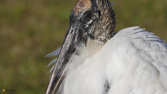 Kaalkopooievaar - Wood stork 001