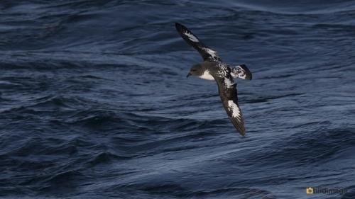 Kaapse Stormvogel_Cape Petrel 05