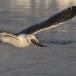 Kamtsjatkameeuw - Slaty-backed gull 05