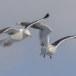 Kamtsjatkameeuw - Slaty-backed gull 06