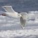 Kamtsjatkameeuw - Slaty-backed gull 07