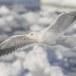 Kamtsjatkameeuw - Slaty-backed gull 08