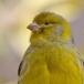 kanarie-_-atlantic-canary-04