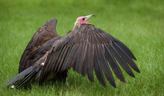 kapgier-hooded-vulture-05