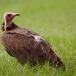 kapgier-hooded-vulture-01
