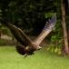 kapgier-hooded-vulture-02