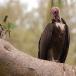 kapgier-hooded-vulture-04