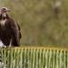 kapgier-hooded-vulture-07
