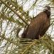 kapgier-hooded-vulture-10