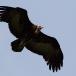kapgier-hooded-vulture-11