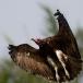 kapgier-hooded-vulture-13