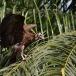 kapgier-hooded-vulture-14