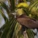 kapgier-hooded-vulture-15