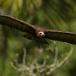 kapgier-hooded-vulture-18