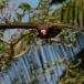 kapgier-hooded-vulture-19