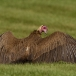 kapgier-hooded-vulture-20