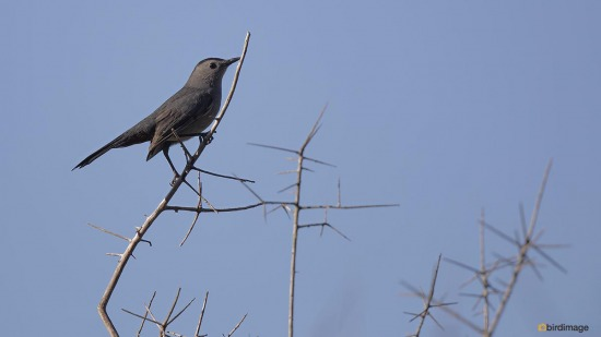 Katvogel - Gray Catbird 001