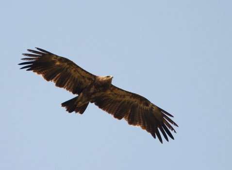keizerarend-eastern-imperial-eagle-01
