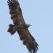 keizerarend-eastern-imperial-eagle-02