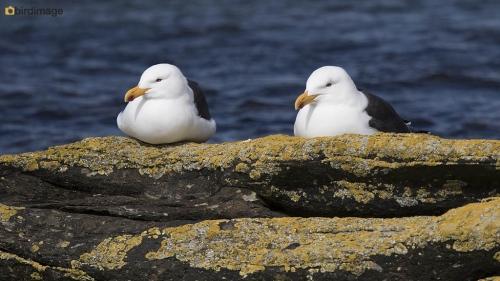 Kelpmeeuw_Kelp Gull 03