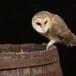 Kerkuil-Barn-Owl-01