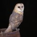 Kerkuil-Barn-Owl-02