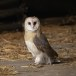 Kerkuil-Barn-Owl-04