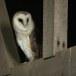 Kerkuil-Barn-Owl-06