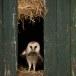 Kerkuil-Barn-Owl-07