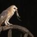 Kerkuil-Barn-Owl-08
