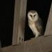 Kerkuil-Barn-Owl-09