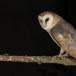 Kerkuil-Barn-Owl-10