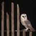 Kerkuil-Barn-Owl-11