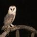 Kerkuil-Barn-Owl-12