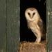 Kerkuil-Barn-Owl-13