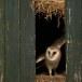 Kerkuil-Barn-Owl-14