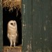 Kerkuil-Barn-Owl-16