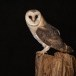 Kerkuil-Barn-Owl-17