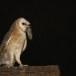 Kerkuil-Barn-Owl-18